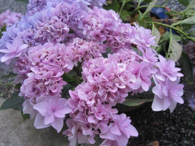 紫陽花が見ごろです_f0085369_22565347.jpg