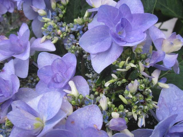 紫陽花が見ごろです_f0085369_22571835.jpg
