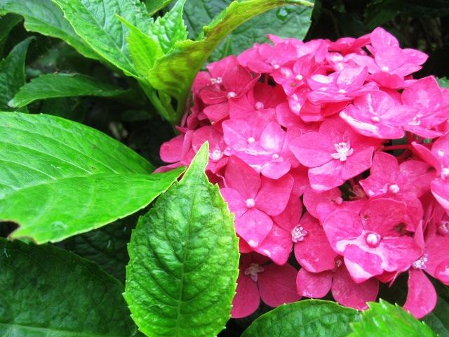 紫陽花が見ごろです_f0085369_2258018.jpg