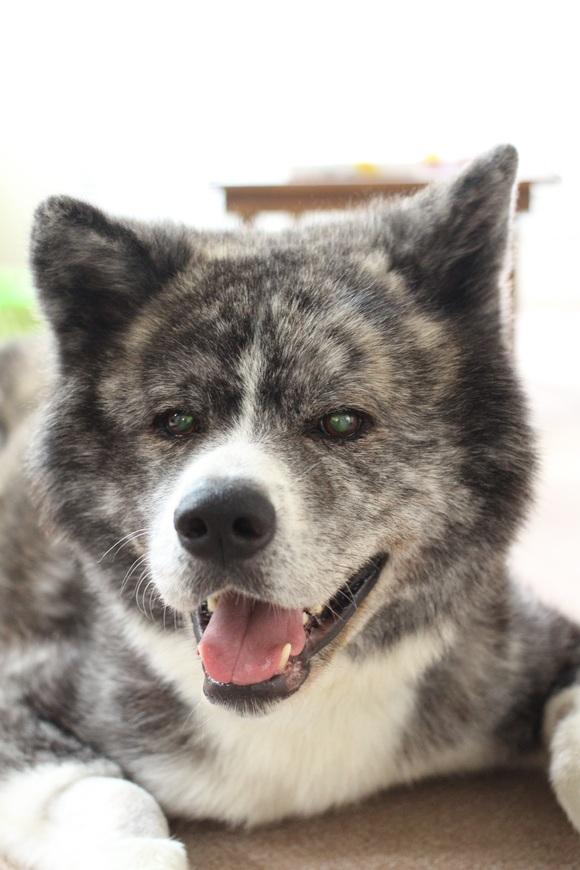 秋田犬「優悟」くんへのご支援のお願いです _f0242002_1492313.jpg