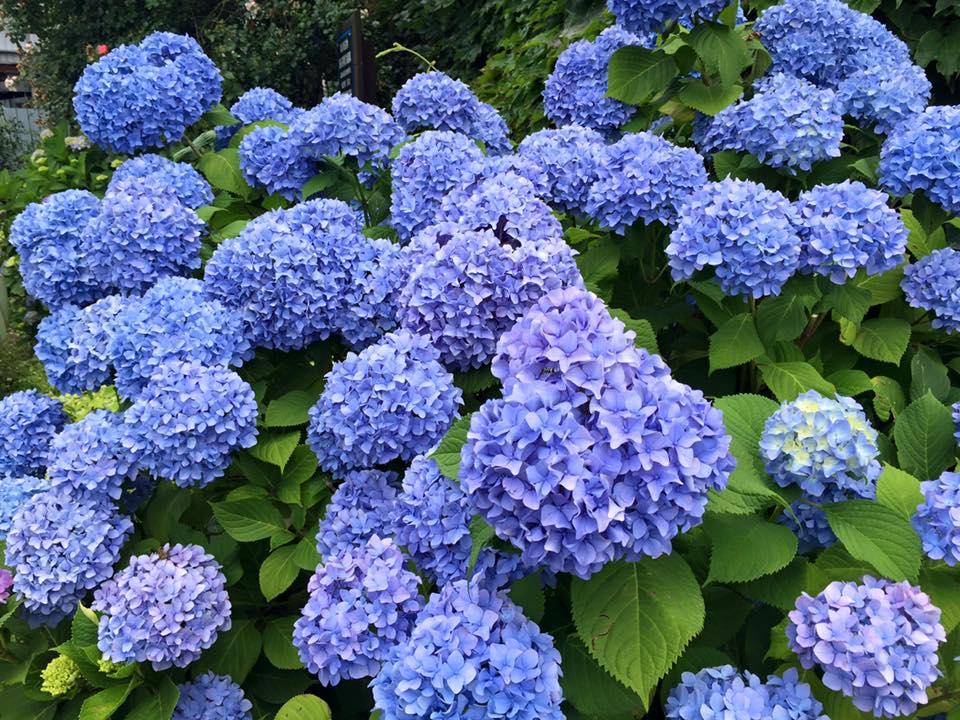 県令邸の紫陽花_a0141072_12325429.jpg