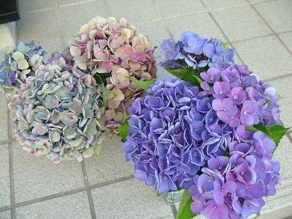 秋色紫陽花 西安_f0129726_22150764.jpg