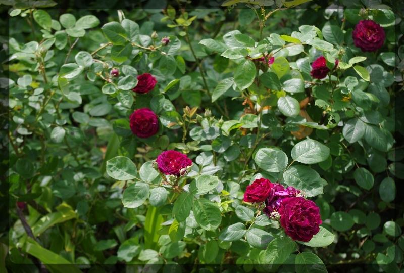 The Beth Chatto Gardens(ベス・チャトーガーデン)への行き方_e0136424_23045744.jpg