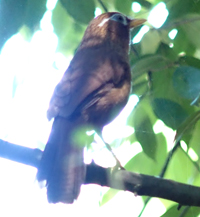 ものまね鳥_f0108133_13381198.jpg