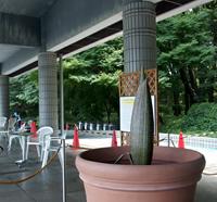 巨大なショクダイオオコンニャクの花が咲きますよ_f0108133_15223037.jpg