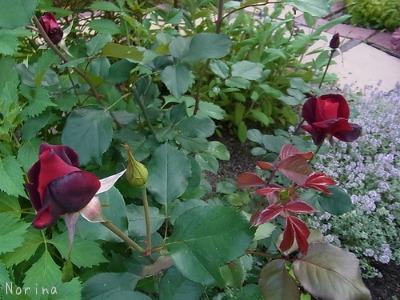 ラベンダーと庭の花_e0326953_13373842.jpg