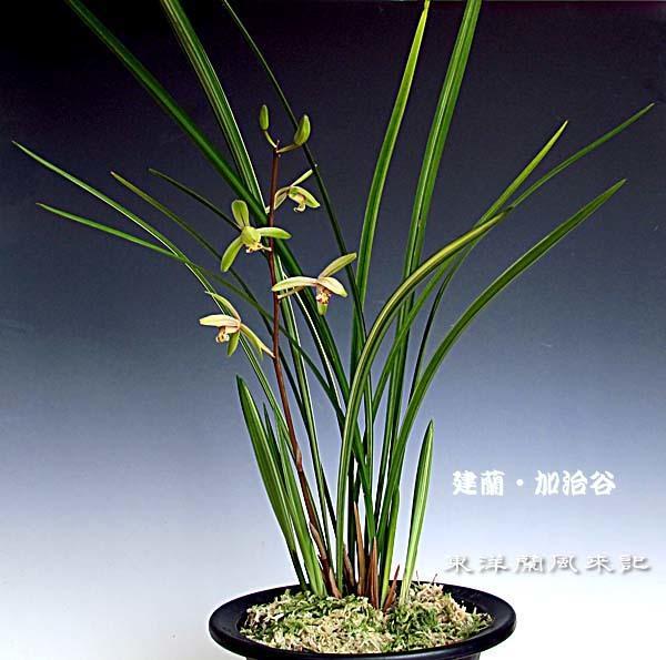 建蘭・加治谷の花                      No.1519_d0103457_00390531.jpg