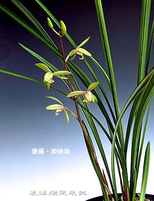 建蘭・加治谷の花                      No.1519_d0103457_00391443.jpg