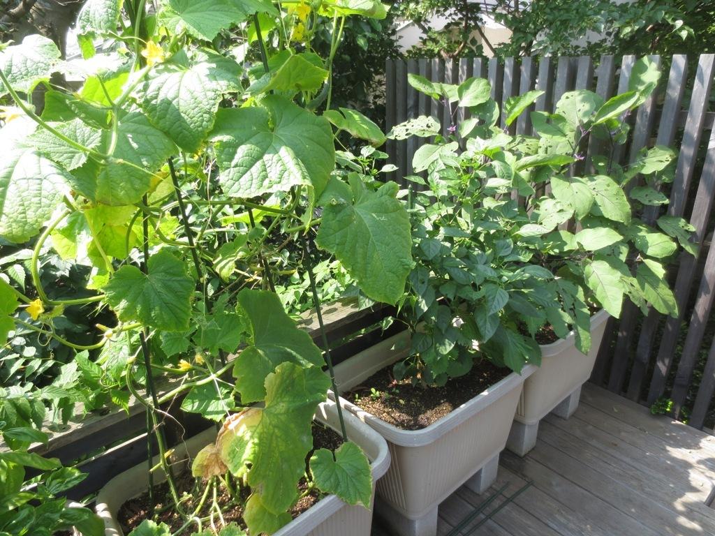 夏野菜収穫_c0310571_11413344.jpg