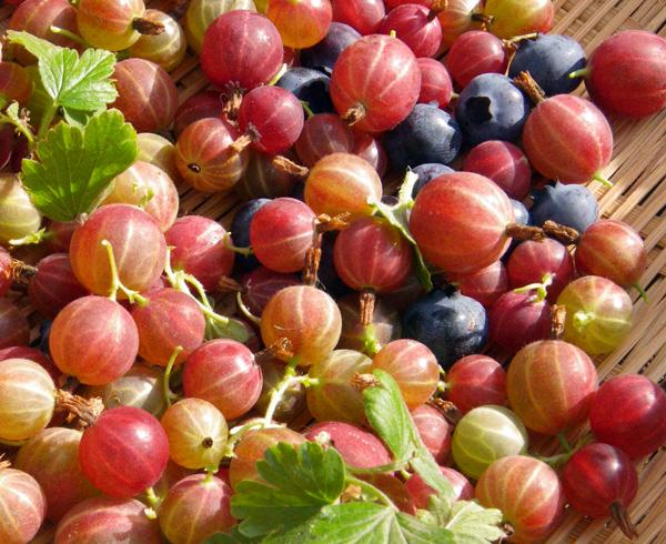 スグリの摘み取り、赤玉ねぎの収穫など♪_a0136293_187773.jpg