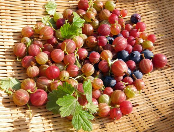 スグリの摘み取り、赤玉ねぎの収穫など♪_a0136293_193488.jpg