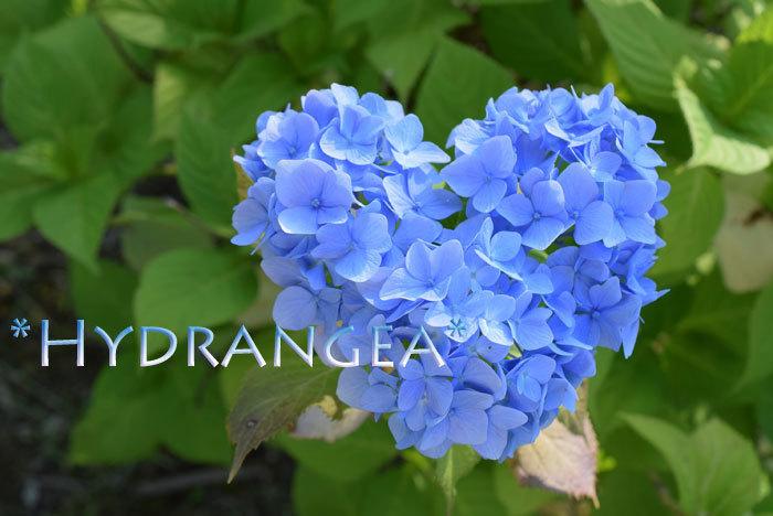 みんなの「紫陽花&雨の季節らしいすてきな一枚」をご紹介!_f0357923_22393264.jpg