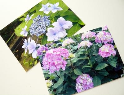 紫陽花の季節_c0121933_1741987.jpg