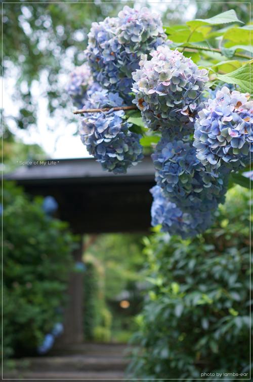 明月院の青い紫陽花_f0151946_050344.jpg