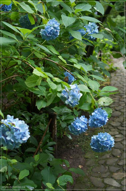明月院の青い紫陽花_f0151946_051160.jpg