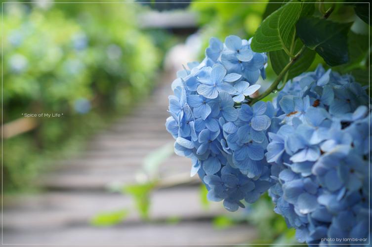 明月院の青い紫陽花_f0151946_0512172.jpg