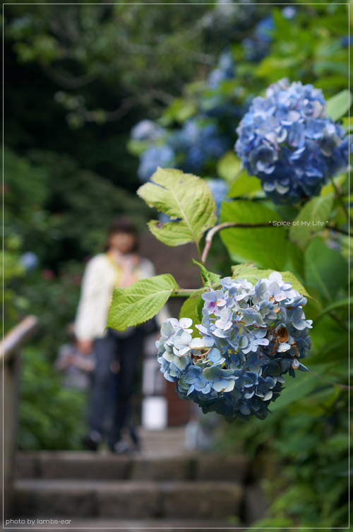 明月院の青い紫陽花_f0151946_0514352.jpg