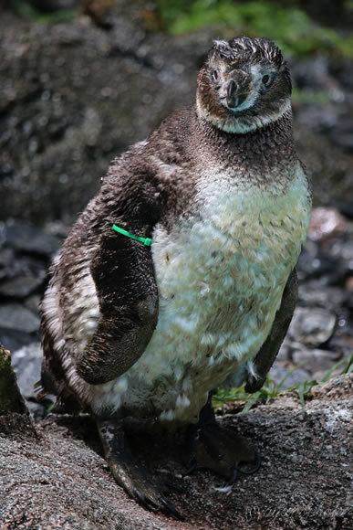 まだ子供のフンボルトペンギン