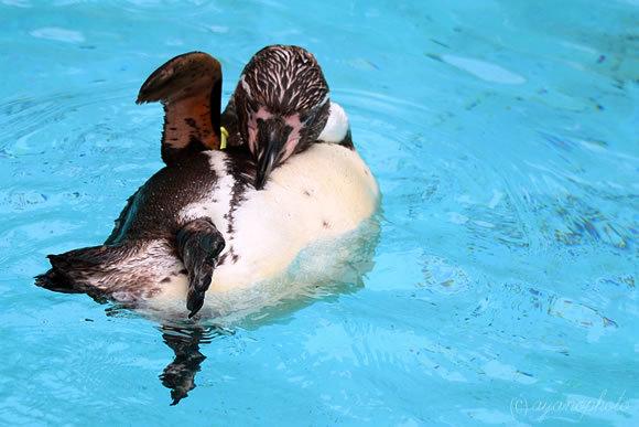 フンボルトペンギンの親鳥