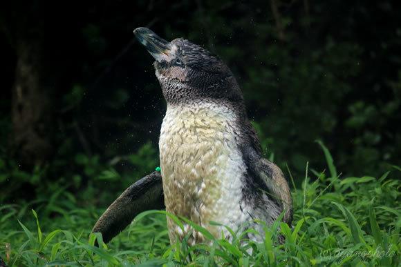 フンボルトペンギンの子供