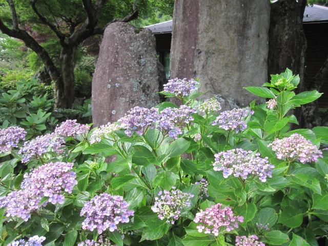 遅咲きの紫陽花が咲いています_f0085369_2130375.jpg