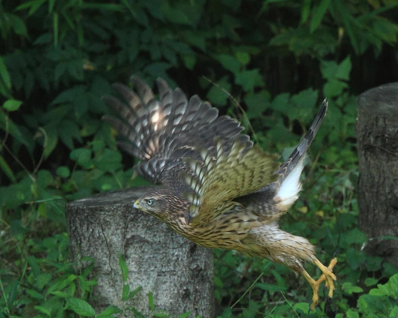 オオタカ幼鳥の力強い飛び出し_f0105570_2159598.jpg