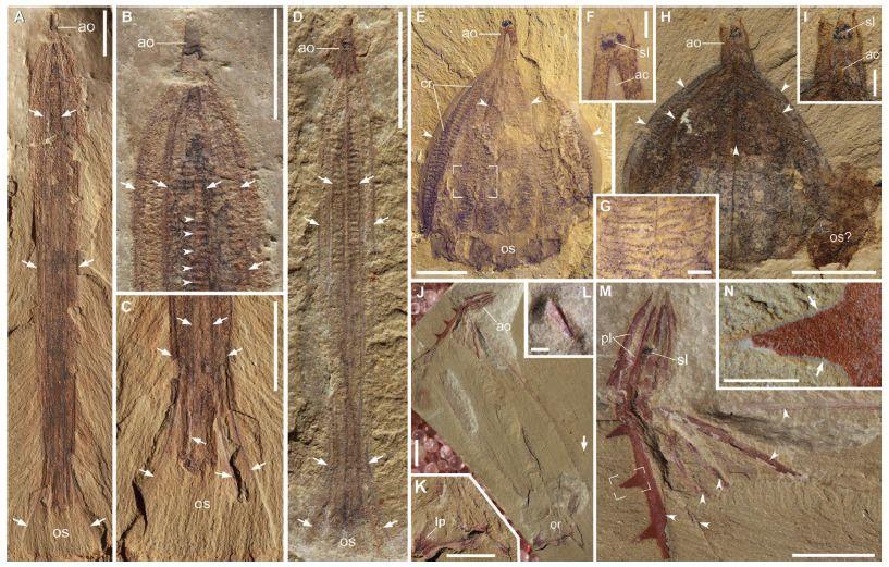 カンブリア紀には骨格をもったクシクラゲがいた_c0025115_18594328.jpg