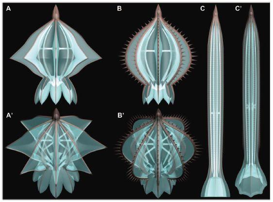 カンブリア紀には骨格をもったクシクラゲがいた_c0025115_18594689.jpg