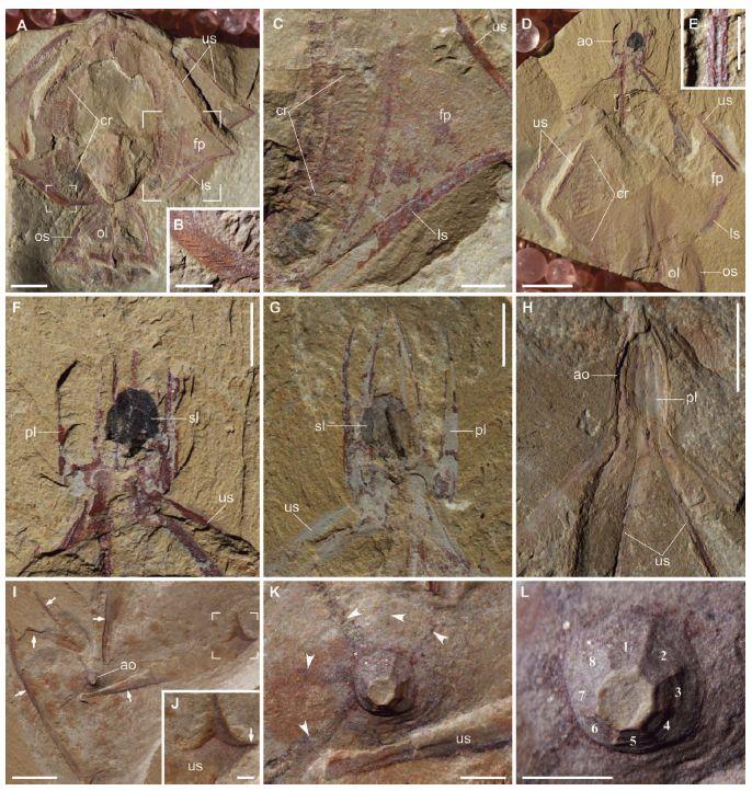 カンブリア紀には骨格をもったクシクラゲがいた_c0025115_1859719.jpg