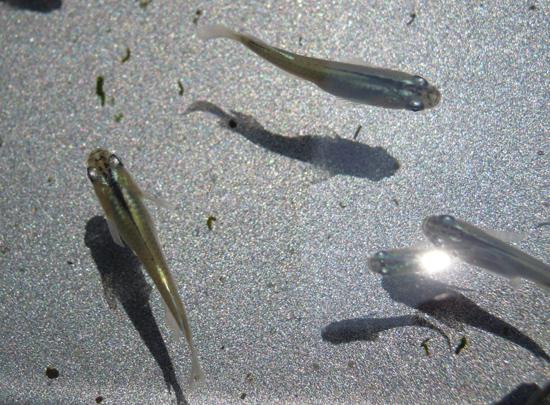 トパーズ × 〇〇の若魚です_e0097534_18203464.jpg