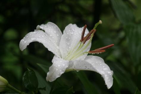 雨に咲くユリ_c0329378_10270367.jpg