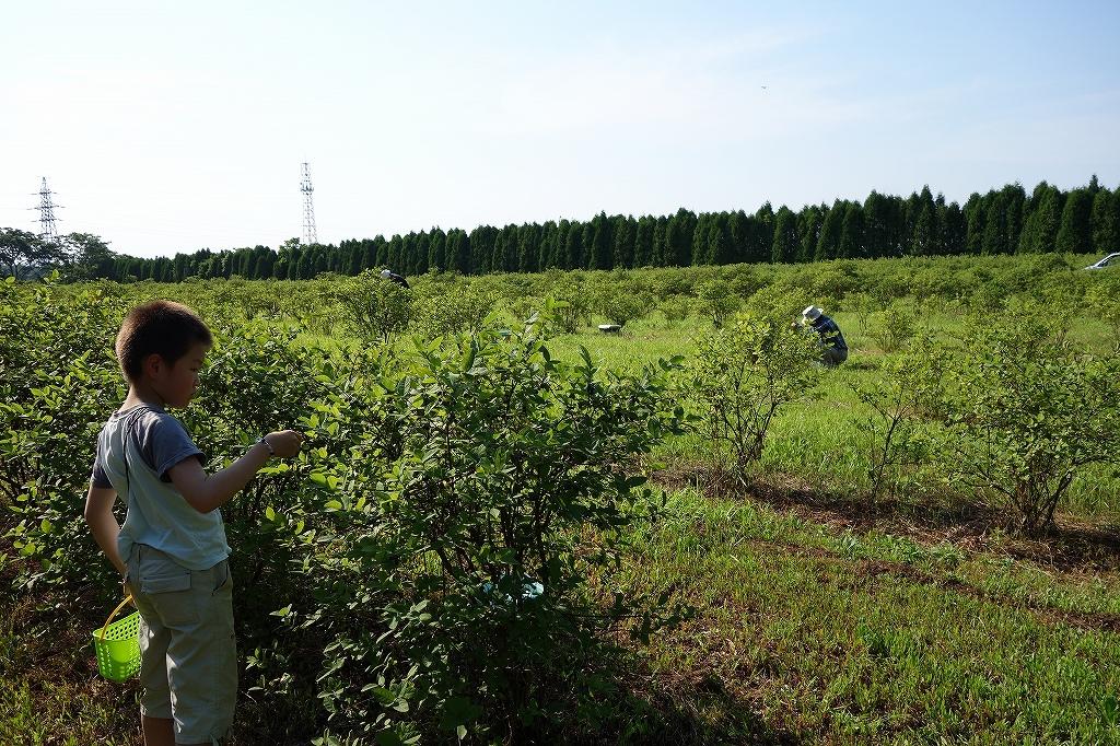 友人の農園でハスカップ狩り_f0138096_16311352.jpg