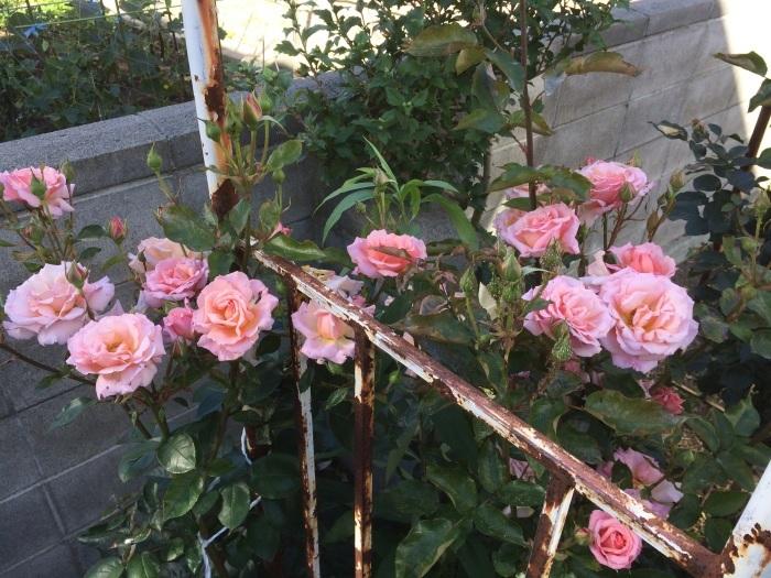 薔薇とテントウ虫_c0226202_07442361.jpg