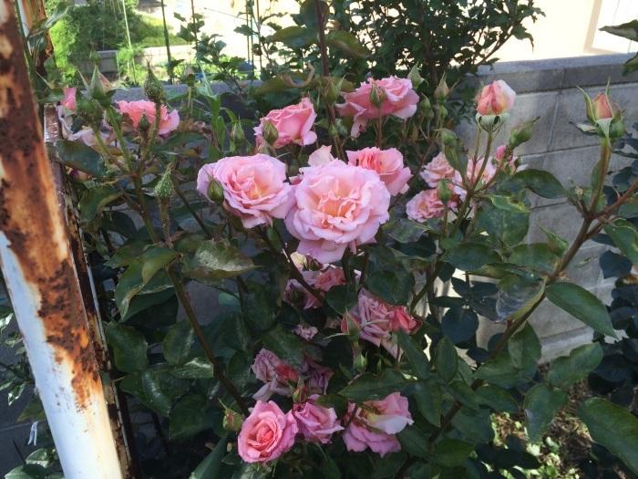 薔薇とテントウ虫_c0226202_07452772.jpg