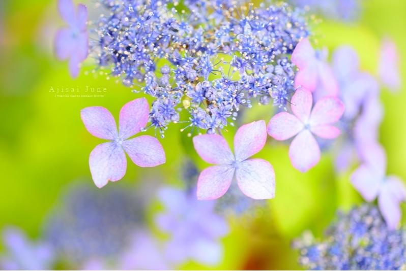 みんなの「紫陽花&雨の季節らしいすてきな一枚」をご紹介!_f0357923_1641251.jpg