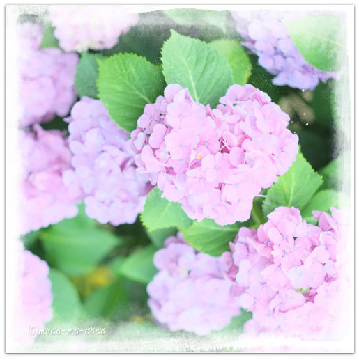 みんなの「紫陽花&雨の季節らしいすてきな一枚」をご紹介!_f0357923_0105289.jpg
