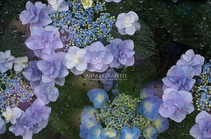 みんなの「紫陽花&雨の季節らしいすてきな一枚」をご紹介!_f0357923_0415728.jpg