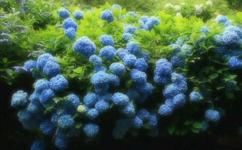 みんなの「紫陽花&雨の季節らしいすてきな一枚」をご紹介!_f0357923_15533221.jpg
