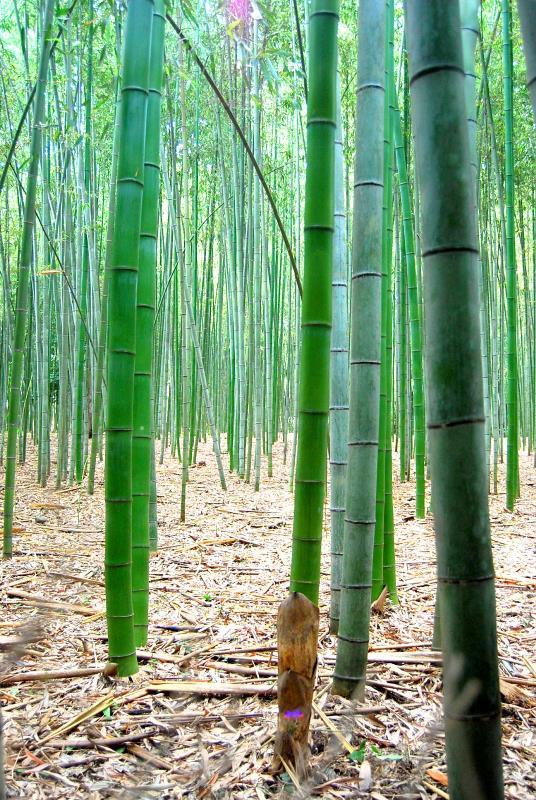 祇園「さゝ木」 祇園祭の山鉾 嵐山の竹林_b0165872_23175941.jpg