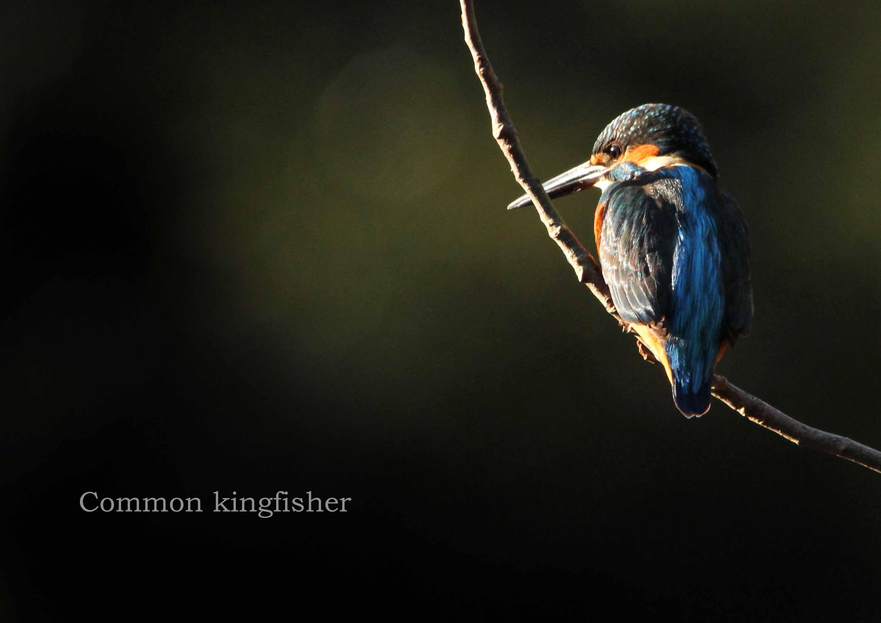 カワセミ:Common kingfisher_b0249597_519876.jpg