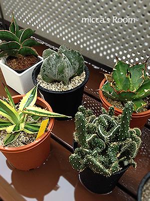 最近の室内観葉植物たち アガベ クッカバラ ウンベラータ_b0245038_14011873.jpg