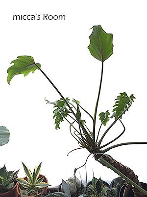 最近の室内観葉植物たち アガベ クッカバラ ウンベラータ_b0245038_14011945.jpg