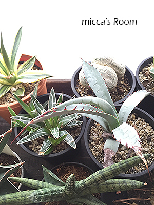 最近の室内観葉植物たち アガベ クッカバラ ウンベラータ_b0245038_14011968.jpg