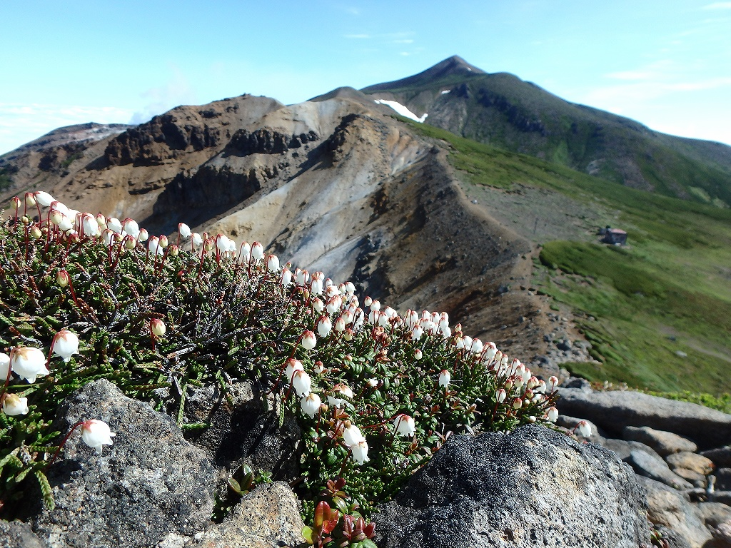 上ホロカメットク山避難小屋周辺の花、7月16日_f0138096_2122549.jpg