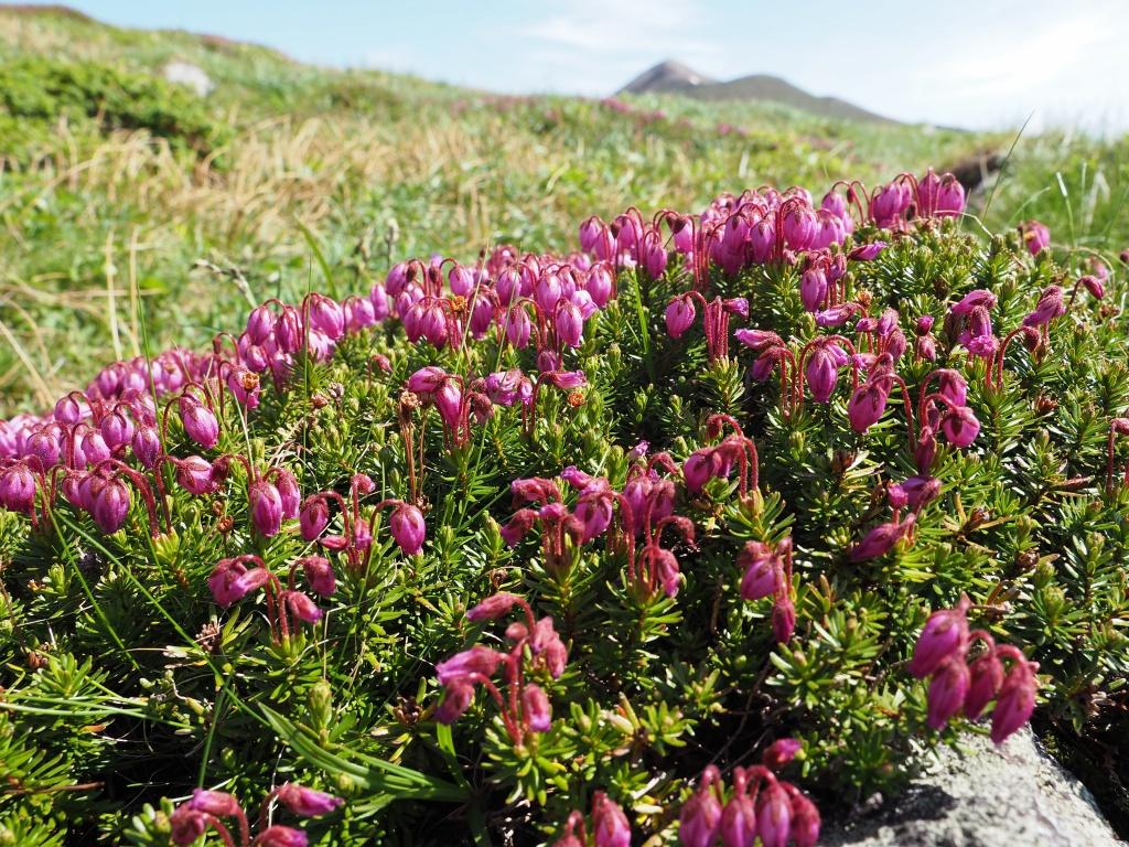 上ホロカメットク山避難小屋周辺の花、7月16日_f0138096_21245238.jpg