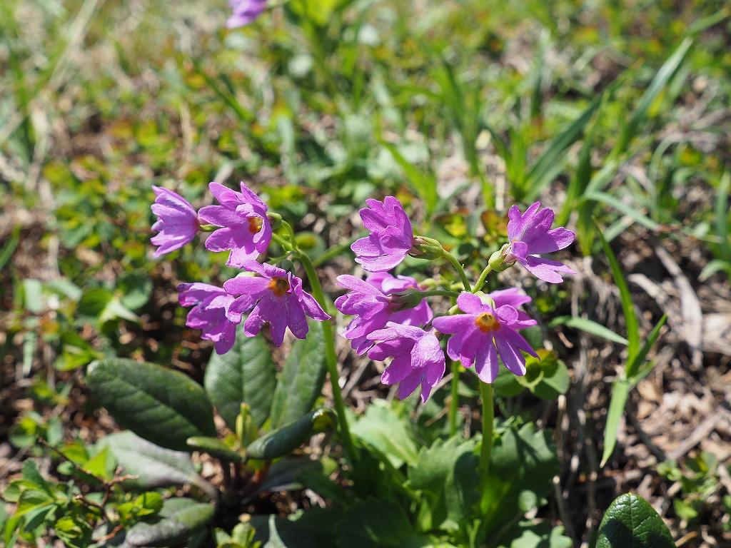 上ホロカメットク山避難小屋周辺の花、7月16日_f0138096_21245987.jpg