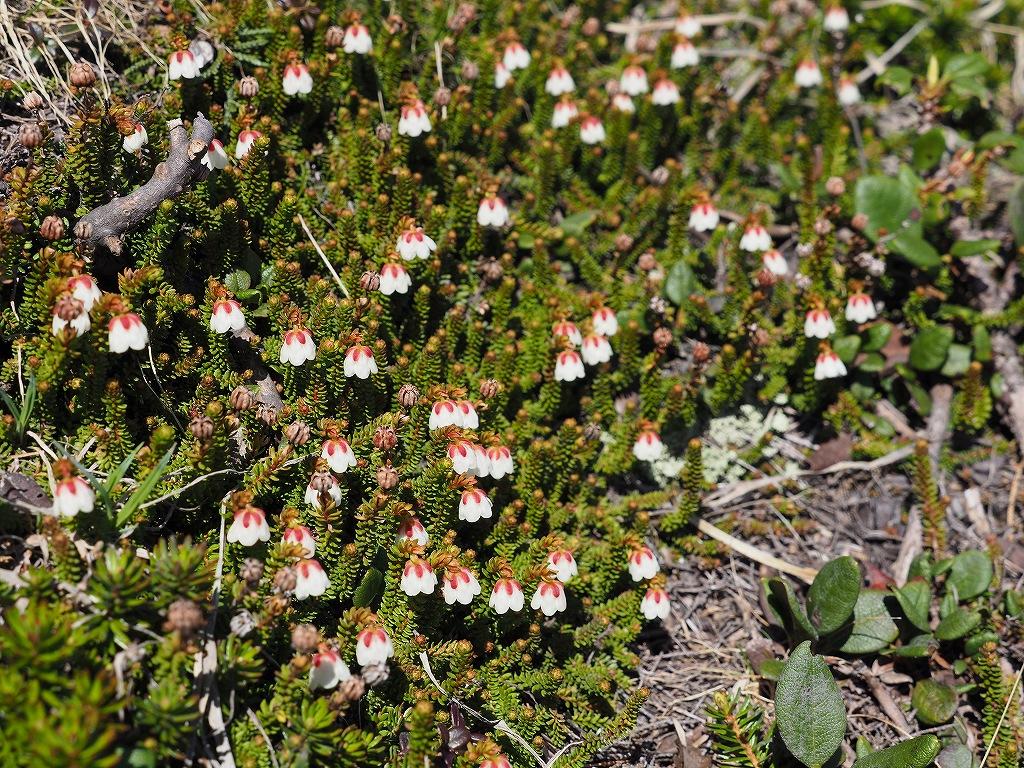 上ホロカメットク山避難小屋周辺の花、7月16日_f0138096_2125839.jpg