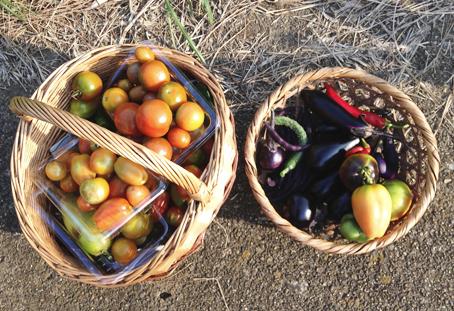 トマトがたくさん穫れます_f0131628_0365845.jpg