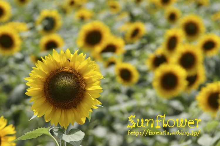 sunflower_f0281446_01341833.jpg