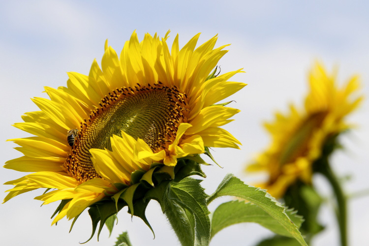 sunflower_f0281446_01342223.jpg